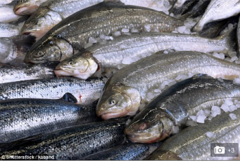 The toxic chemicals in farmed salmon straight from the loch