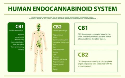 Your Amazing Endocannabinoid System